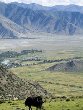 Yak, Ganden Monastery, Near Lhasa, Tibet, China by Ethel Davies