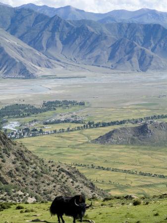 Yak, Ganden Monastery, Near Lhasa, Tibet, China