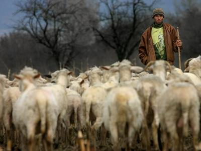 https://imgc.allpostersimages.com/img/posters/ethnic-albanian-shepherd-herds-his-sheep-in-the-north-west-macedonian-village-of-galata_u-L-Q10OS2F0.jpg?p=0