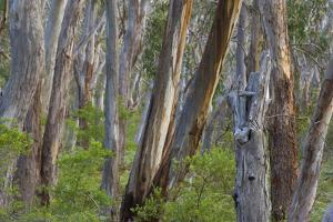 Eucalypt Forest View into a Lightly Wooded Coastal