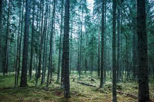 Dark Pine Tree Forest Landscape, Karelia, Russia by Eugene Sergeev