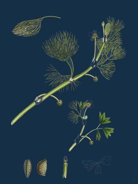 Euonynius Europeus; Spindle Tree