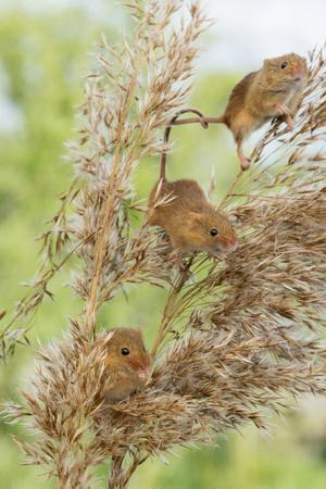 https://imgc.allpostersimages.com/img/posters/eurasian-harvest-mouse-micromys-minutus-devon-england-united-kingdom_u-L-PWFS300.jpg?p=0