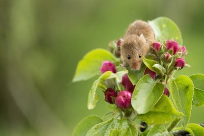 https://imgc.allpostersimages.com/img/posters/eurasian-harvest-mouse-micromys-minutus-devon-england-united-kingdom_u-L-PWFSQG0.jpg?p=0