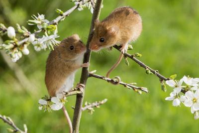 https://imgc.allpostersimages.com/img/posters/eurasian-harvest-mouse-micromys-minutus-devon-england-united-kingdom_u-L-PWFSR40.jpg?p=0