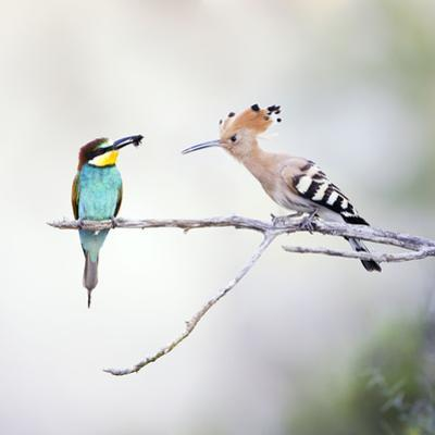 European Bee Eater Perched with a Honey Bee