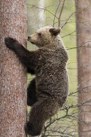 https://imgc.allpostersimages.com/img/posters/european-brown-bear-ursus-arctos-arctos-adult-climbing-northern-finland-may_u-L-Q13A9II0.jpg?p=0