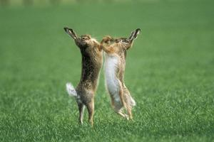 European Brown Hare Boxing