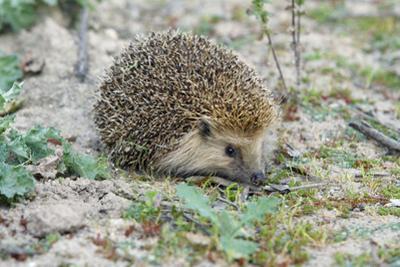 European Hedgehog Pale Morph, in Olive Grove