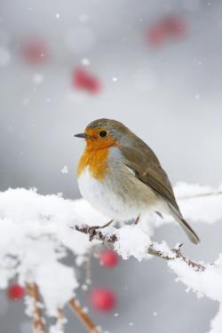 European Robin in Snow, Close-Up Showing Puffed