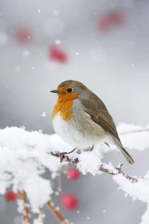 https://imgc.allpostersimages.com/img/posters/european-robin-in-snow-close-up-showing-puffed_u-L-Q106MVE0.jpg?p=0