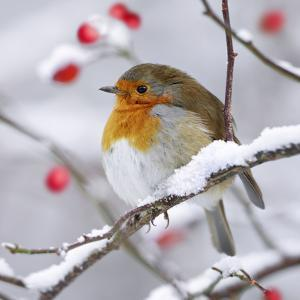 European Robin in Winter with Snow