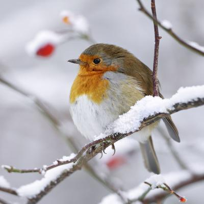 https://imgc.allpostersimages.com/img/posters/european-robin-in-winter-with-snow_u-L-Q106E6S0.jpg?p=0