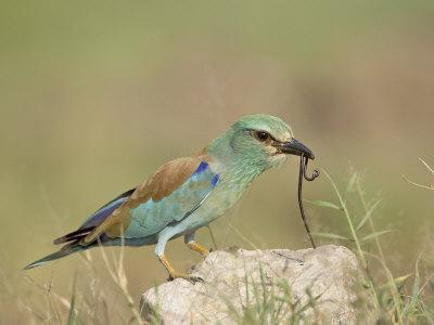 https://imgc.allpostersimages.com/img/posters/european-roller-with-a-worm-serengeti-national-park-tanzania-east-africa_u-L-P7NSGW0.jpg?p=0
