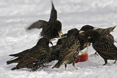 European Starlings in Snow Squabbling over Apple
