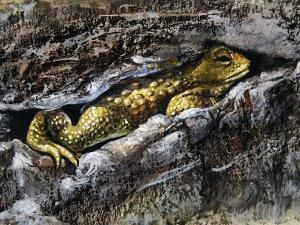 European Toad (Bufo Bufo), Bufonidae