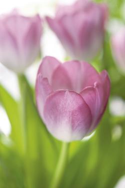 Tulipa Roseus II by Eva Charlotte Fransson