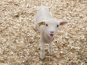 Lamb by Evan Sklar