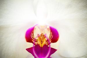 Moon Orchid - Phalaenopsis Amabilis by EvanTravels