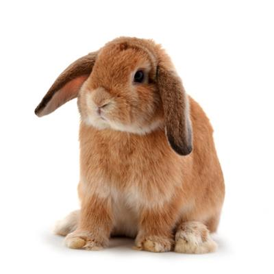 Rabbit Isolated on a White Background by evegenesis