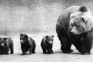 Bear Family by Evening Standard