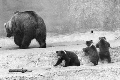 Kodiak Bear and Cubs by Evening Standard
