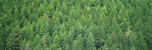 Evergreen Forest, Olympic National Park, Washington, USA