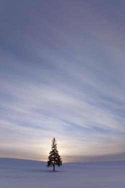 Evergreen Tree in Snowy Field, Biei, Hokkaido, Japan