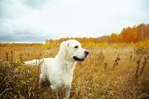 Young Golden Retriever for a Walk in Nature. Dog Breed Labrador Outdoors. by Evgeny Bakharev