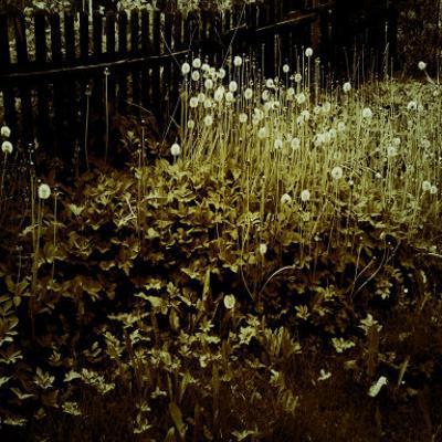 Dandelion Patch along Border