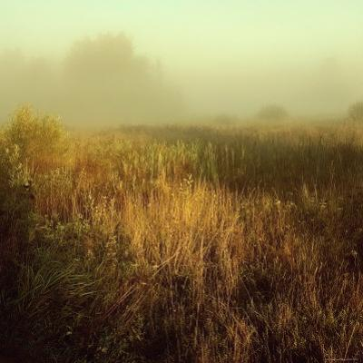Tall Grass in Foggy Field