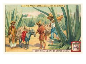 Extraction of Pulque, Magueys, Mexico