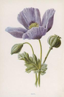 An Opium Poppy by F. Edward Hulme