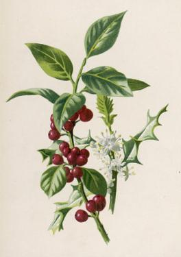 Holly by F. Edward Hulme
