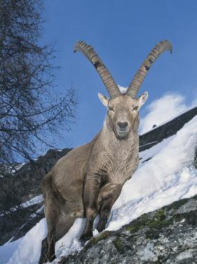 Alpine Ibex Standing on a Mountain, Gran Paradiso National Park, Valle D'Aosta, Italy (Capra Ibex) by F. Liverani