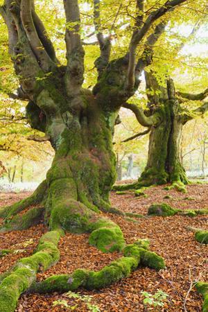 Beech Tree, Kellerwald-Edersee National Park, Hesse, Germany by F. Lukasseck