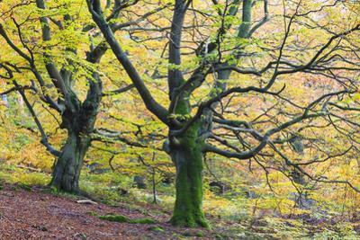 Beech Trees, Kellerwald-Edersee National Park, Hesse, Germany by F. Lukasseck