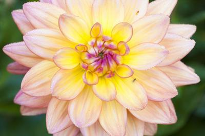 Close-Up of Dahlia by F. Lukasseck