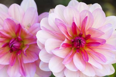 Close-Up of Dahlias by F. Lukasseck