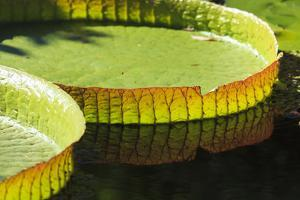 Giant Amazon Water Lily Pad, Botanical Garden, Cologne, Germany by F. Lukasseck