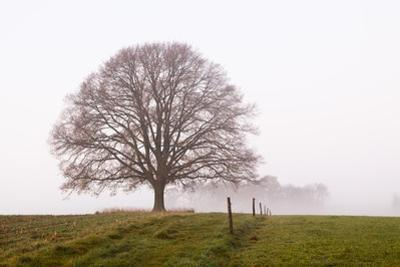 Old Oak Tree and Mist on Meadow at Dawn, North Rhine-Westphalia, Germany by F. Lukasseck