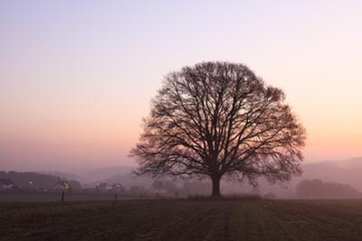 Old Oak Tree in Meadow at Dawn, North Rhine-Westphalia, Germany by F. Lukasseck