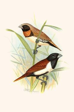 Chestnut Breasted Finch and Three Colored Mannikin by F.w. Frohawk