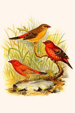 Common Amaduvade and African Fire Finch by F.w. Frohawk