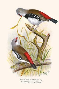Diamond Sparrow or White Headed Finch by F.w. Frohawk