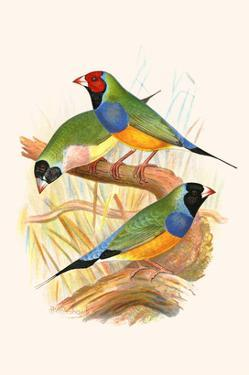 Gouldian Finch, Black Headed and Red Headed by F.w. Frohawk