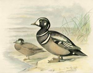 Harlequin Duck by F.w. Frohawk