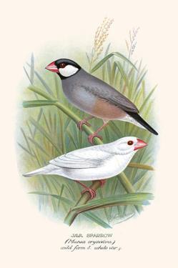 Java Sparrow by F.w. Frohawk