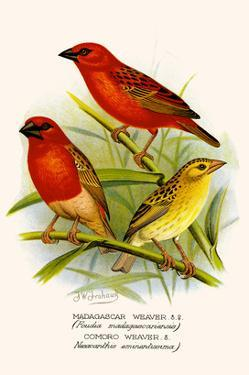 Madagascar Weaver and Comoro Weaver by F.w. Frohawk