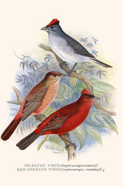 Pileated Finch and Red Crested Finch by F.w. Frohawk